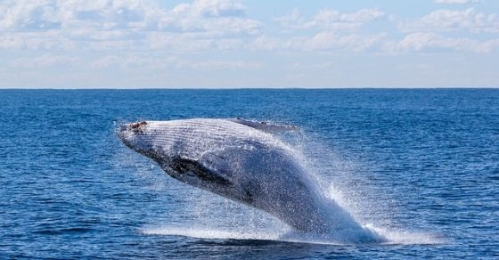 Wieloryb ciekawostki