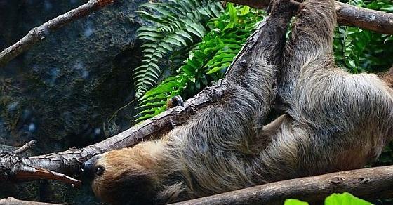 Leniwiec ciekawostki
