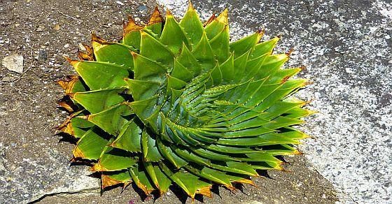Aloes ciekawostki