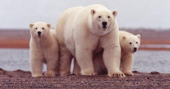 Niedźwiedź polarny ciekawostki