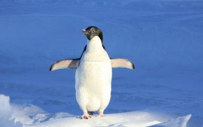 Pingwin ciekawostki