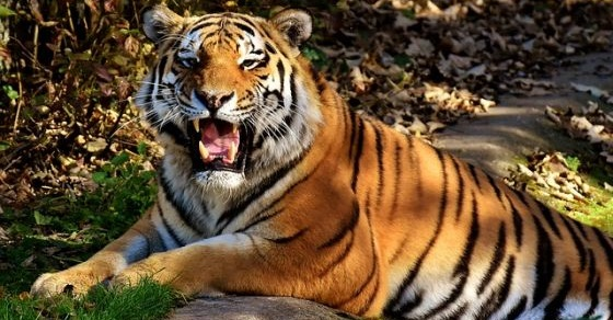 Tygrys ciekawostki