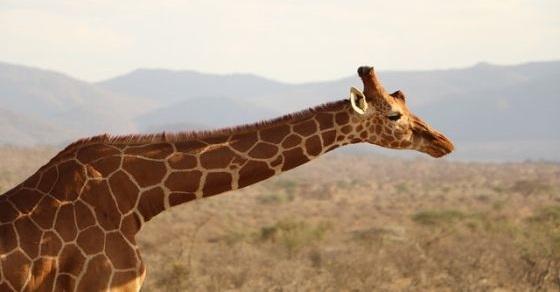 Żyrafa ciekawostki