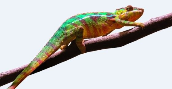 Kameleon ciekawostki
