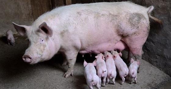 Świnia ciekawostki