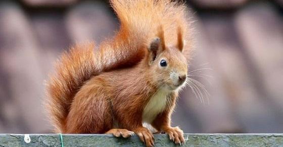 Wiewiórka ciekawostki