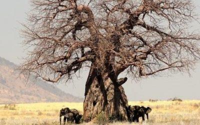 Baobab ciekawostki