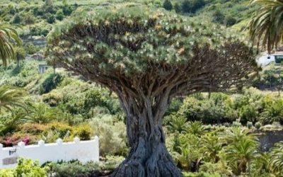 Smocze drzewa ciekawostki