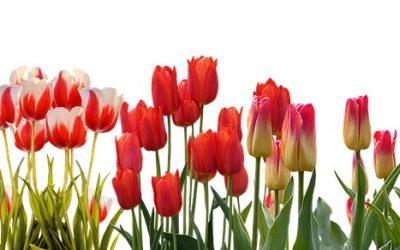 Tulipany ciekawostki