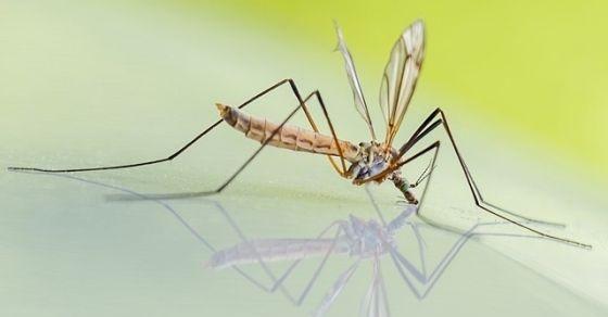 Komary ciekawostki
