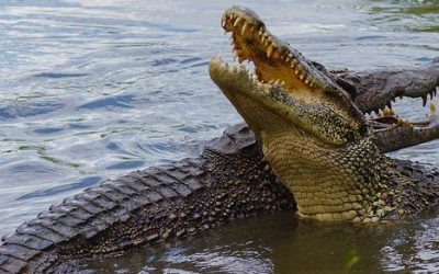 Krokodyle ciekawostki