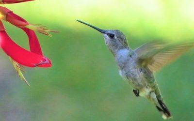Koliber ciekawostki