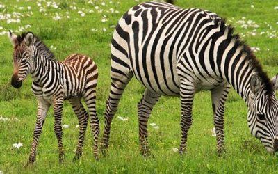 Zebra ciekawostki