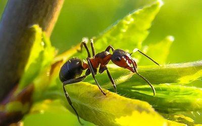 Mrówki ciekawostki