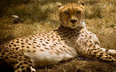 Gepard ciekawostki