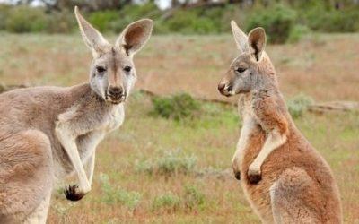 Kangur ciekawostki