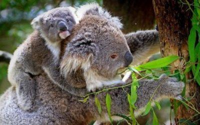 Koala ciekawostki