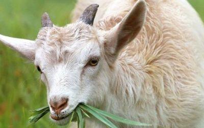 Koza ciekawostki