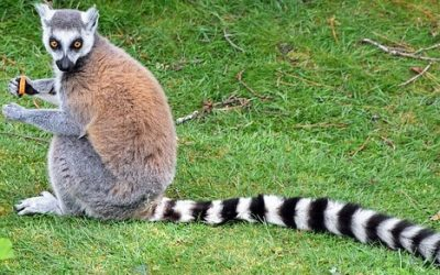 Lemur ciekawostki