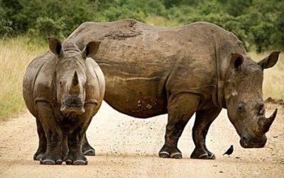 Nosorożec ciekawostki