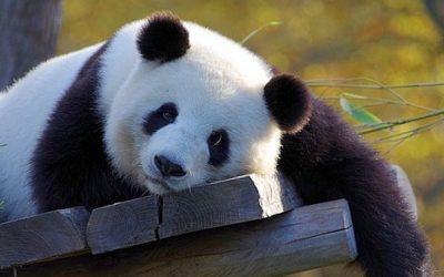 Panda wielka ciekawostki
