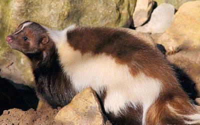 Skunks ciekawostki