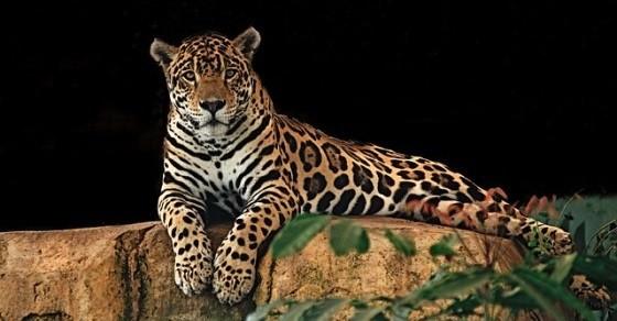 Jaguar ciekawostki