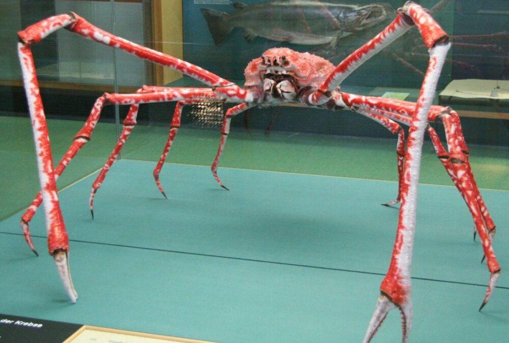 Japoński krab pacyficzny ciekawostki
