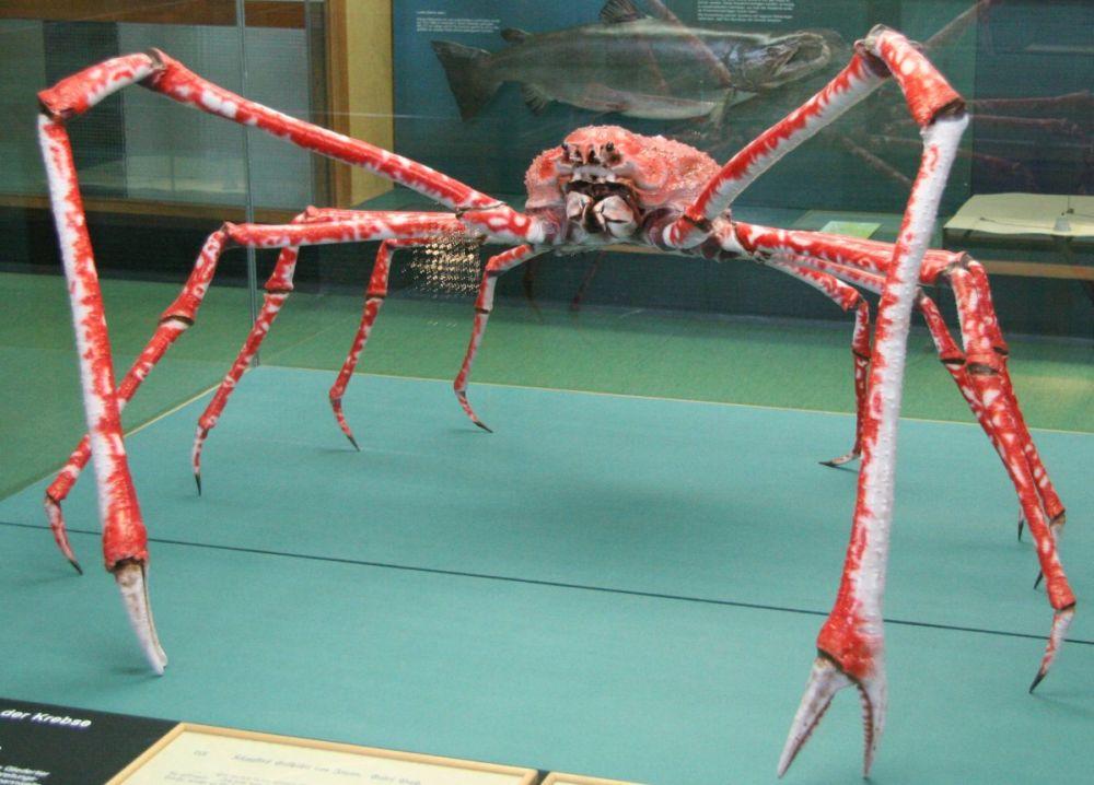 Japoński krab pacyficzny