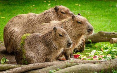 Kapibara ciekawostki